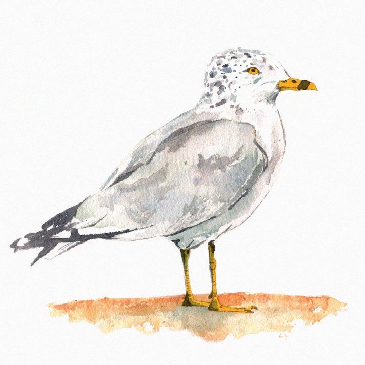 stansberry matt gulls